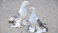 En Güzel Güvercinler
