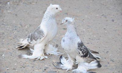 Urfamızın Nadide Kuşları