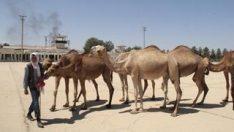 Şanlıurfa'da eski havalanı pisti kurbanlık develere kaldı