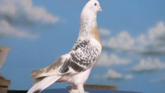 Urfa Kuşçuluk