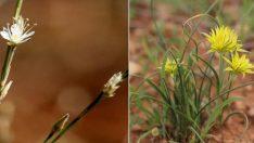 Şanlıurfa'da keşfedilen 2 yeni bitki türü dünya literatürüne girdi!