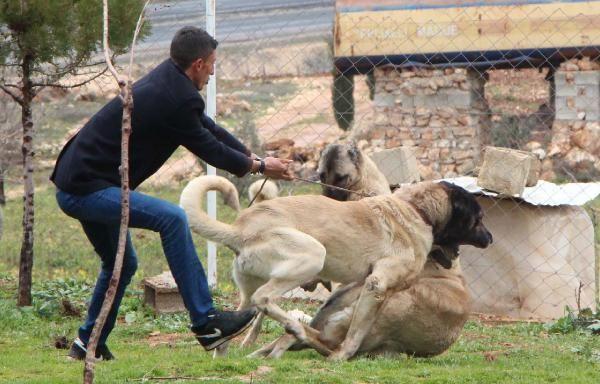 Çobanların sadık dostu: Kurtboğan