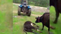 Anne inek ölen yavrusunu götüren traktörün peşinden koştu