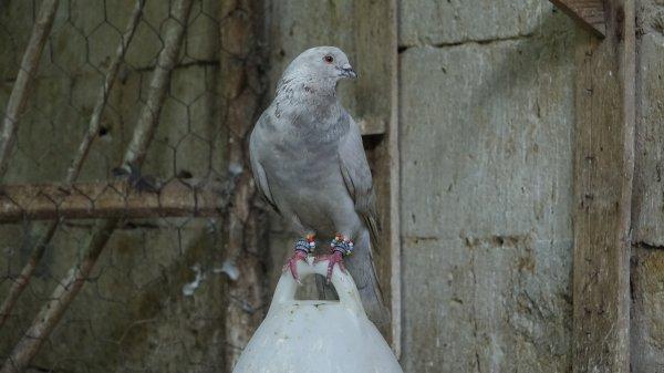Güvercin beslemek isteyenler için belge istiyorlar